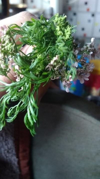 #coriender#flowers