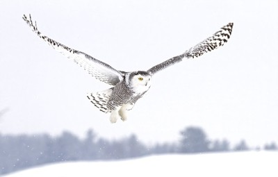 Snowy owl in flight7