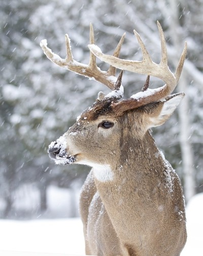 White-tailed buck in falling snow