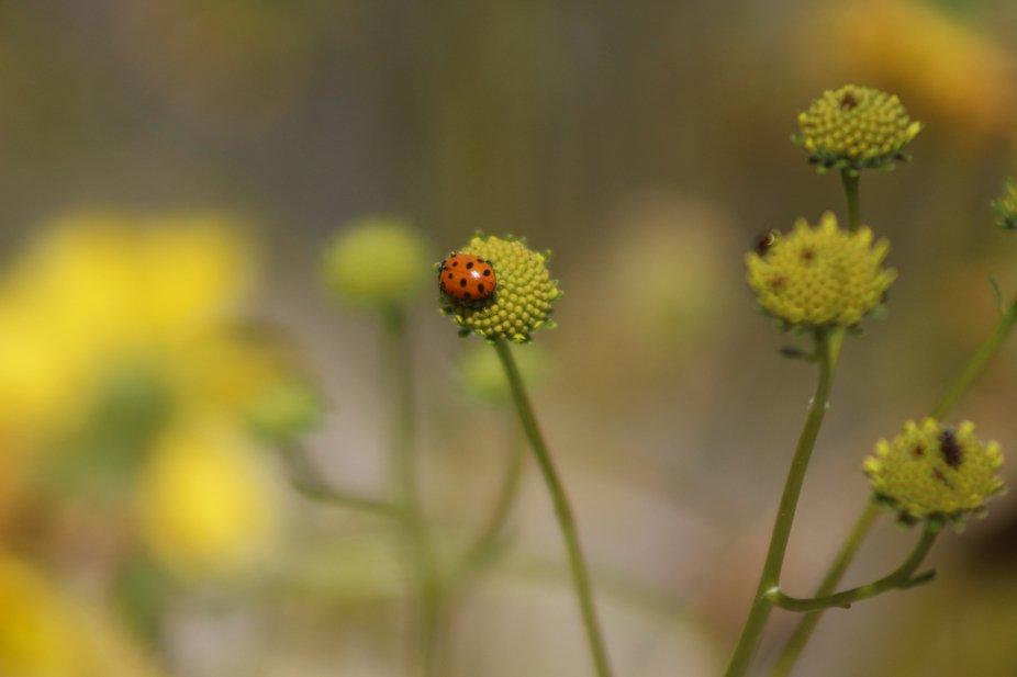 """ Ladybug on Lemon Yellow Wildflowers Coachella Valley Wildlife Preserve""   Beautiful natural..."