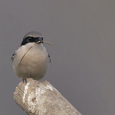 Loggerhead Shrike DSC06695