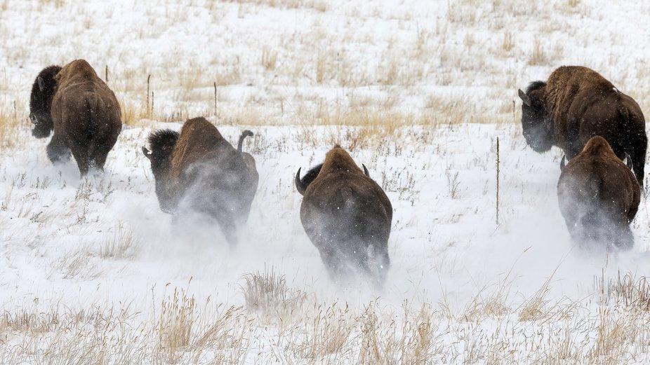 Buffalo Squall