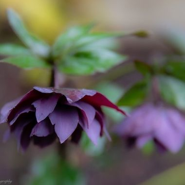 Hellebores, I love using it for winter color.