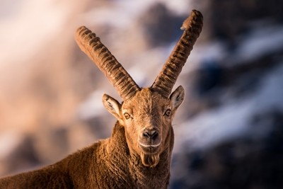 Alpine Ibex in the mountains of Italy