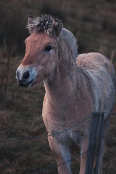 Fjordlands Hest