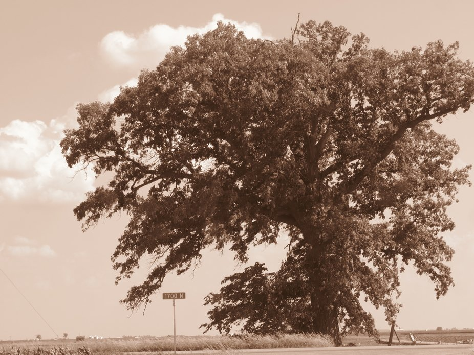 Tree was 150 yrs.old. Took photo on Thursday--Power company cut the tree down on Monday-- Sad