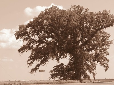 150 year old oak tree