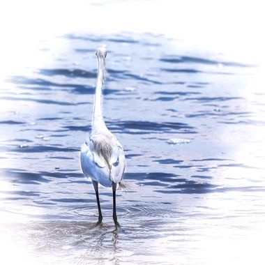 Egret in the Ocean NW