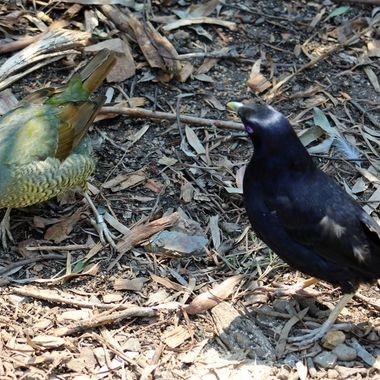 Bower bird pair