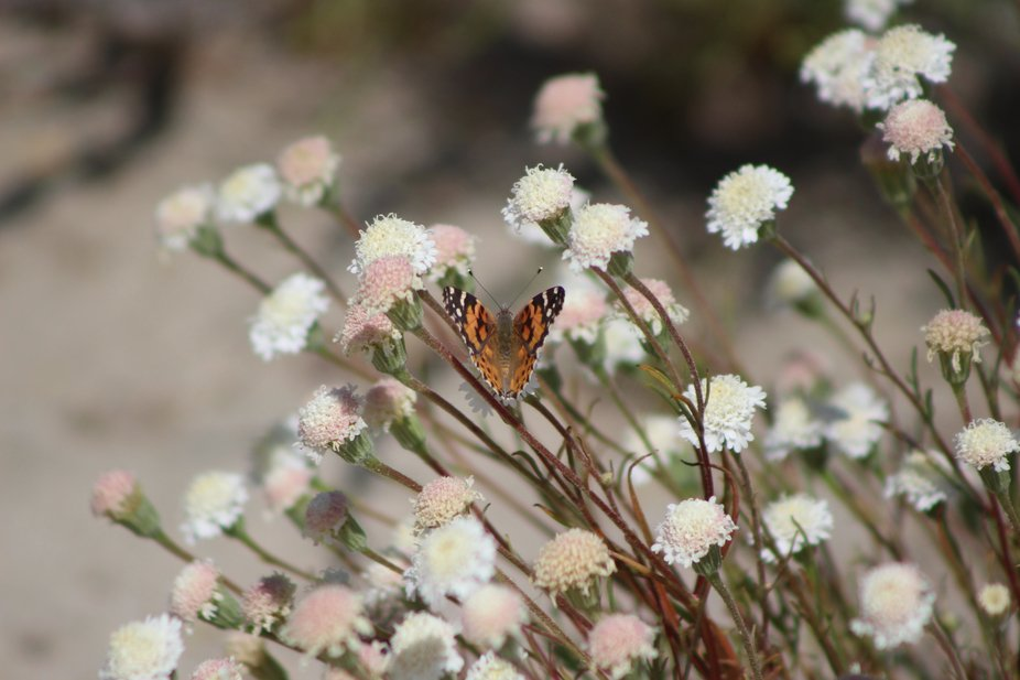 """ Painted Lady on Wild Pincushion Flower in Coachella Valley Wildlife Preserve""  This beautif..."