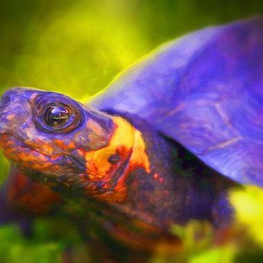 bog turtle art