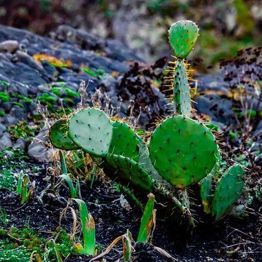 Cactus in Canada