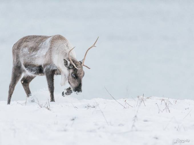 Reindeer by ritaholdhus - Covers Photo Contest Volume8
