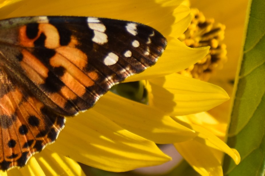 A Painted Lady butterfly in the Maximillian Sunflowers.