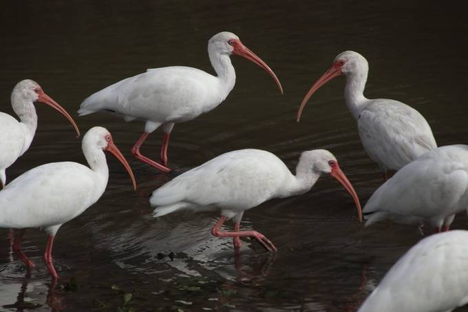 Feeding White Ibis at Dawn