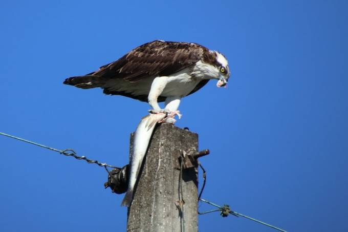 Osprey with Speckled Trout