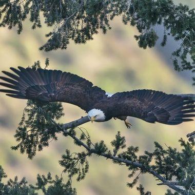 Bald Eagle DSC04892