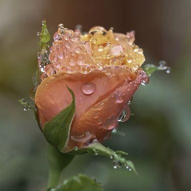 Dew Kissed