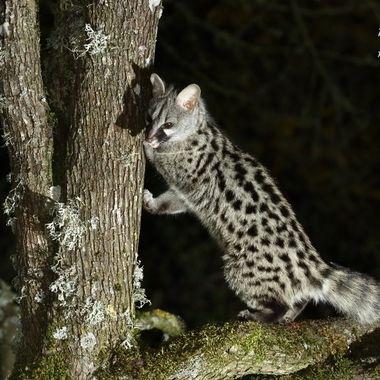 La Genetta es un animal carnivoro y nocturno del eosistema mediterraneo. Le gusta moverse por las ramas de los arboles. Vitigudino-Spain