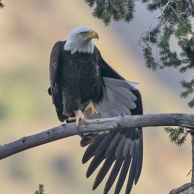 Bald Eagle DSC04871