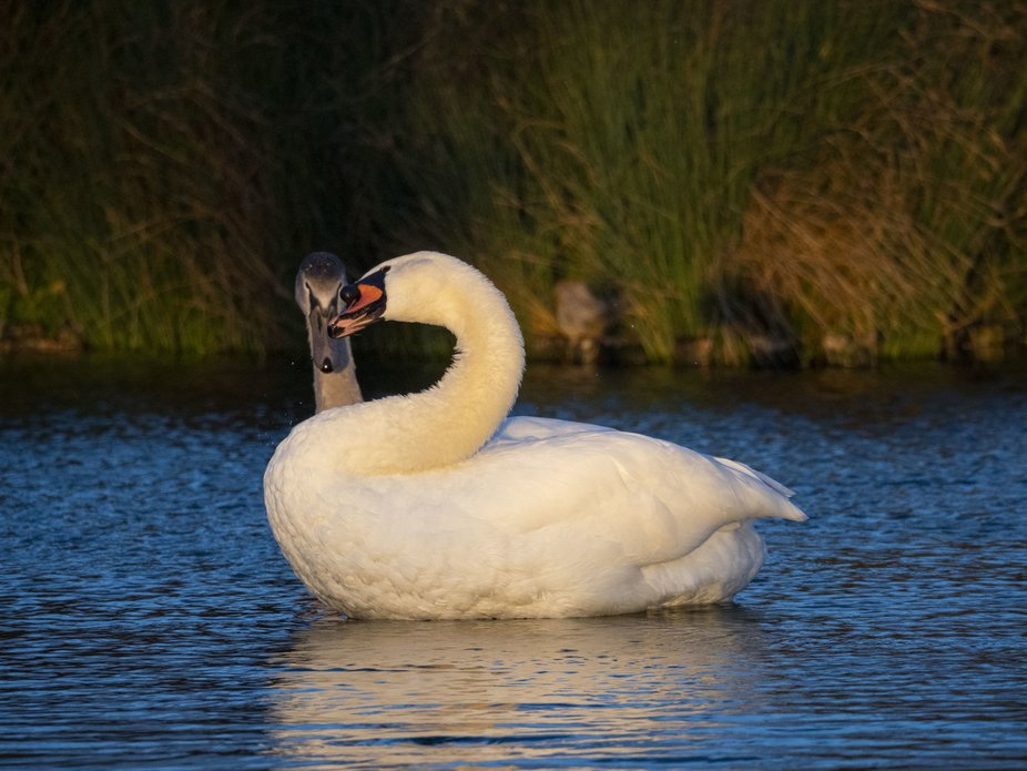 That one moment, that one chance, as the sun is low I watched these two Swans for a least an hour...