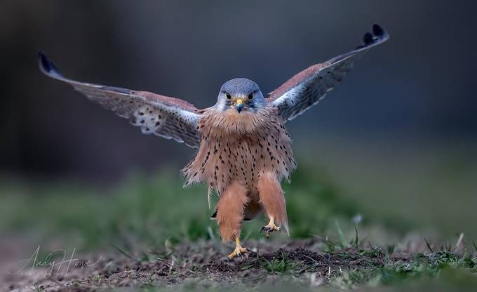 Male Kestrel by AndyHowePhotography - Flying Animals Photo Contest