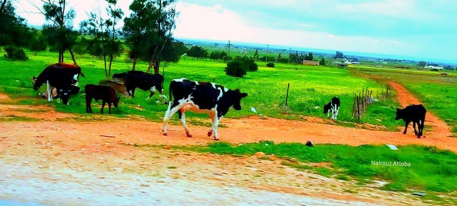 libyan farm