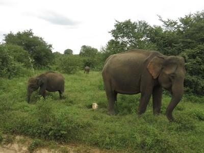 Elephants in Sri Lanka