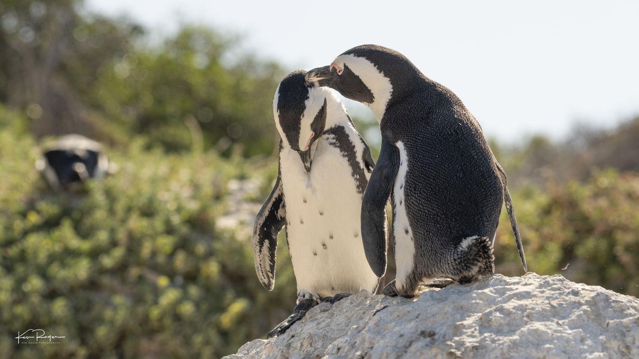 Boulder Penguin Park South Africa