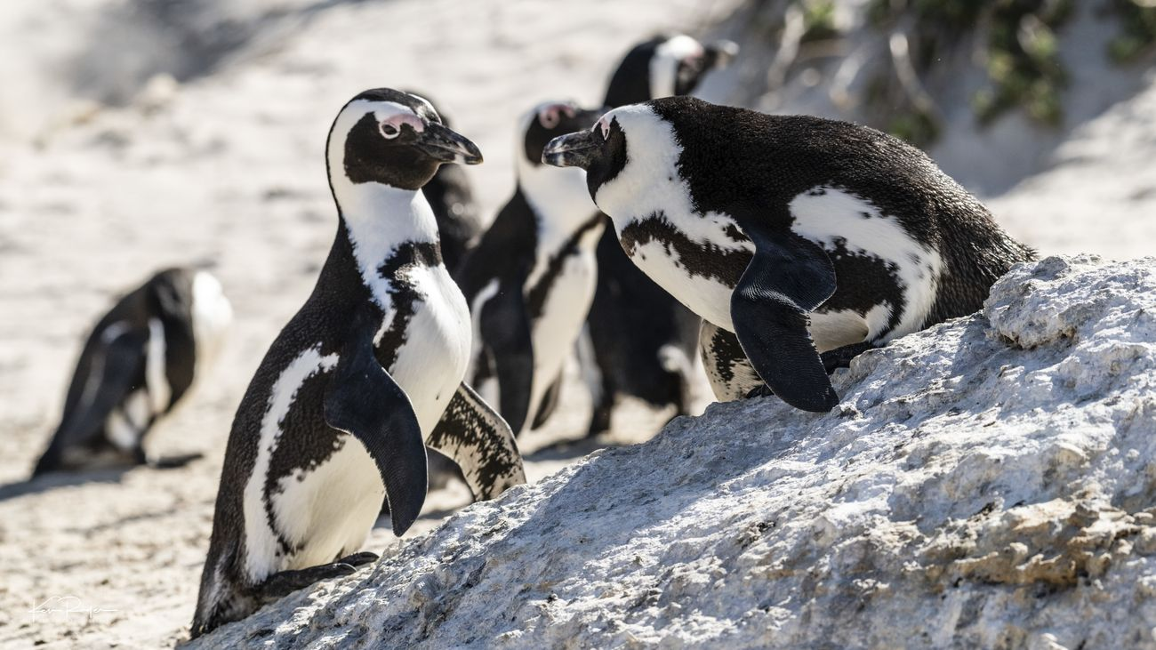 Boulders Penguin Colony South Africa