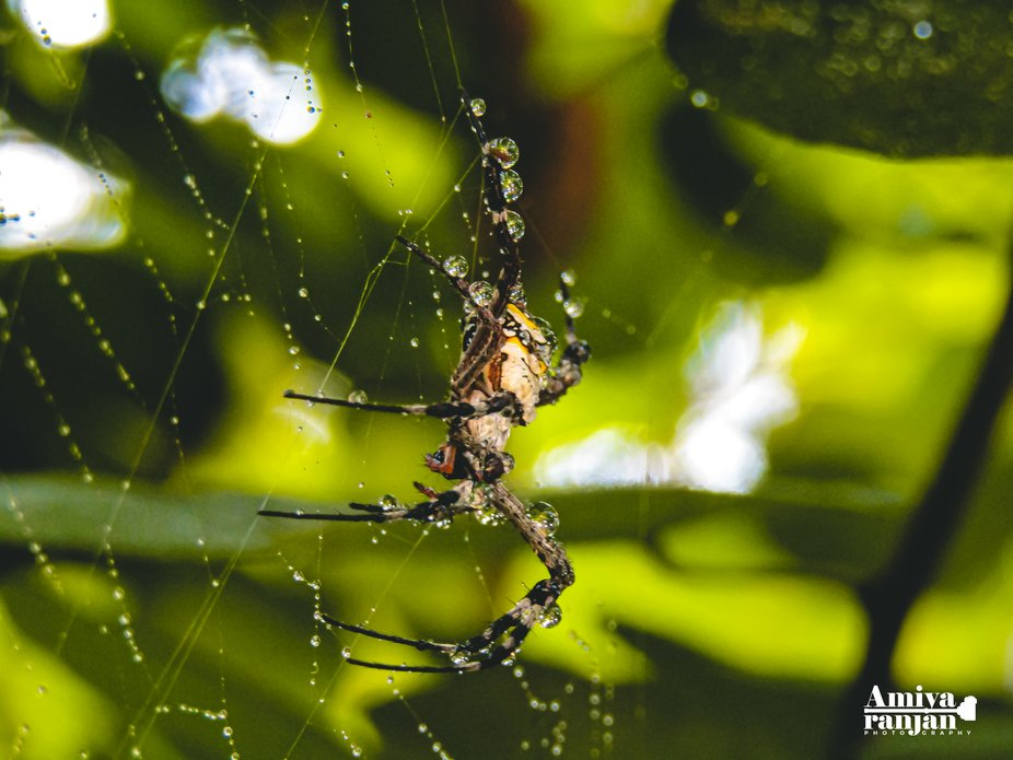 A spider with Water drops