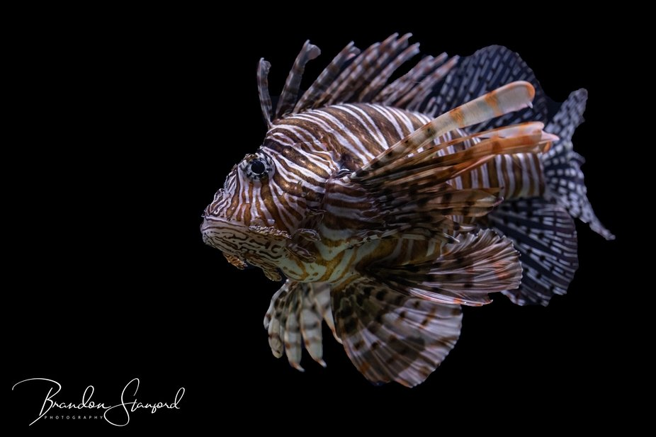 THE BEAUTIFUL LION FISH