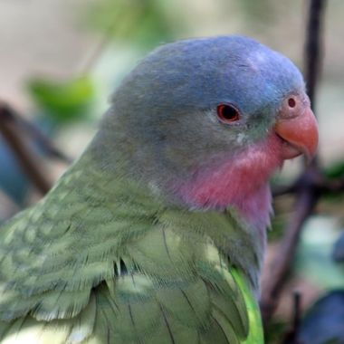 Pastel colours of the beautiful Princess Parrot