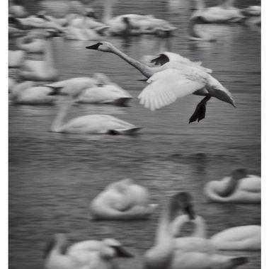 Swan Landing II BNW copy