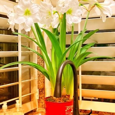 Happy amaryllis!