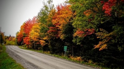 Maple sugar trees in fall