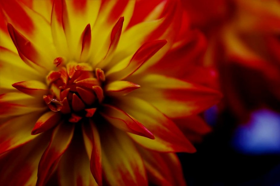 dahlia - capturing the unique angle of this beautiful flower.