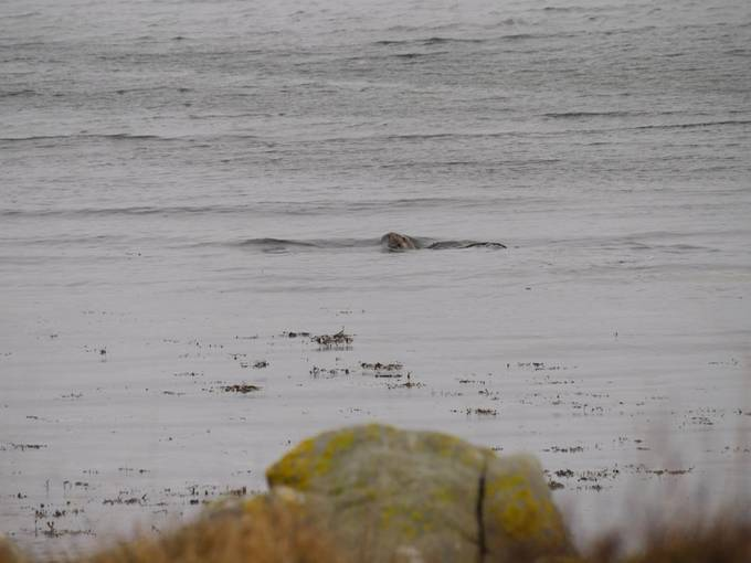 Seaotter with lunch at Lochranza, Isle of Arran.