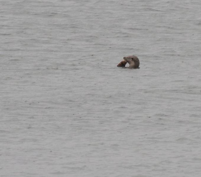 Seaotter on the feed.