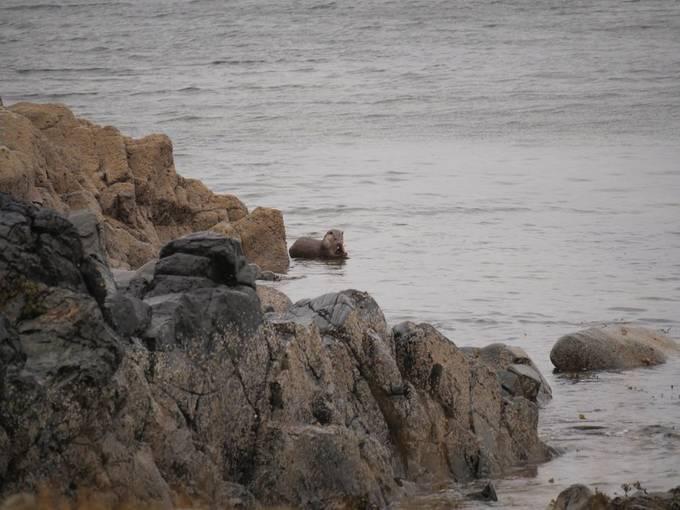 Seaotter on the feed, Lochranza, Isle of Arran.