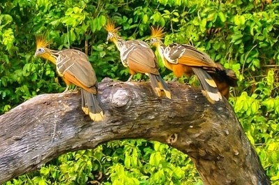 Golden Crested Amazon Yada Yada