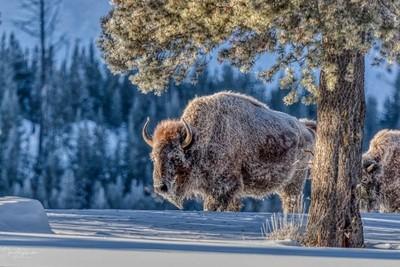 Bison in Morning Light