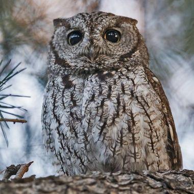 Western Screech Owl DSC07631