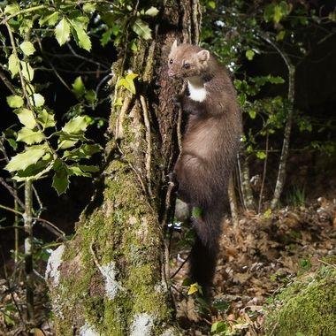 Mamifero carnivoro y nocturno, en el bosque caducifolio de La Sierra de Francia (Spain)