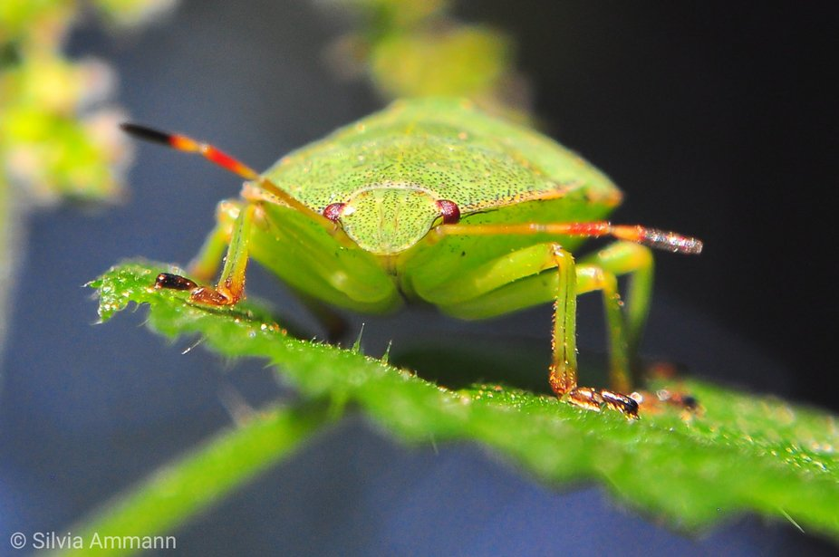 The beetle sitting on the nettle