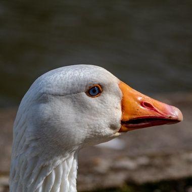 goose-9629