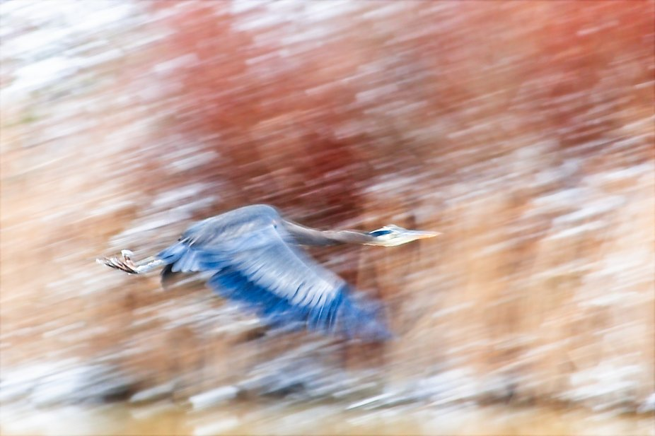 A heron takes off in a snow storm in the Skagit Valley of Washington.