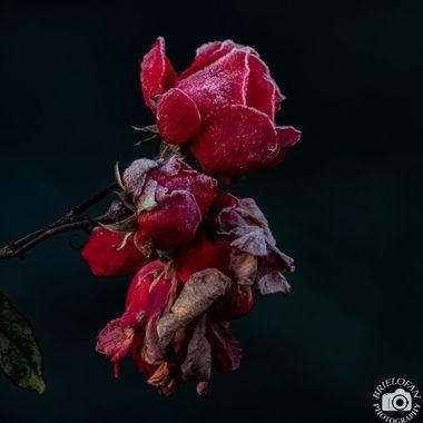 rose-9408