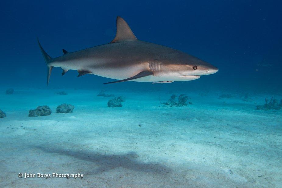 Bahamas 2020 - Shark Dive-52