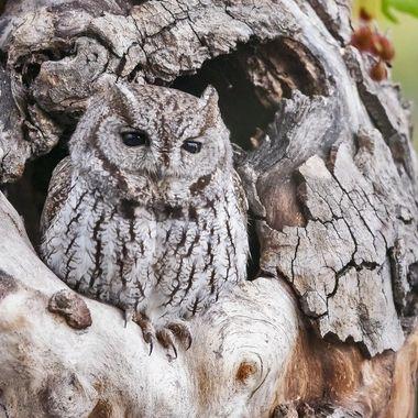 Western Screech Owl DSC08366